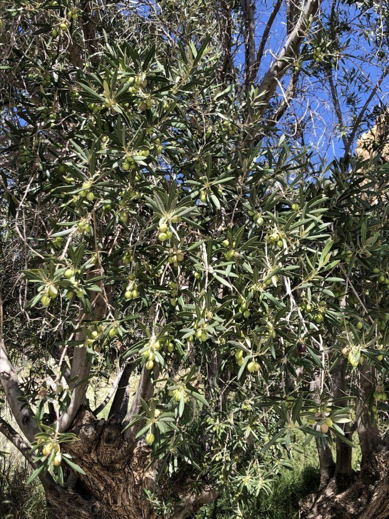 olivki gotovi k sbory